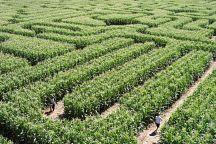 В Таиланде появится лабиринт в кукурузном поле