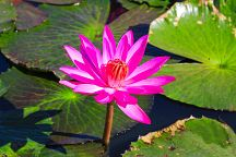 На озере Нонг Хам началось цветение лотосов