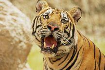 Тигровый зоопарк появится в Канчанабури