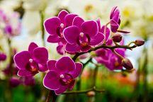 Начался Фестиваль орхидей в Чантхабури