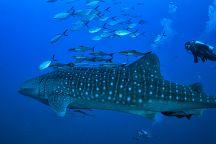 В провинции Прачуапкхирикхан обнаружена семья китовых акул
