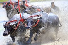 Буйволиные бега состоятся в Чонбури