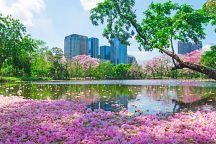В столице Таиланда зацвела табебуйя