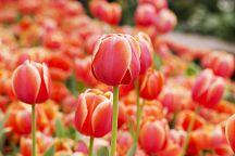 В провинции Районг пройдет фестиваль тюльпанов The Charming of Wonder Village