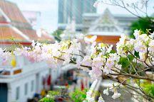 В столице Таиланда зацветет табебуйя