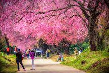 На севере Таиланда зацвела сакура