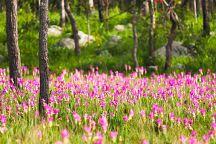 В парках Таиланда зацвели сиамские тюльпаны