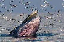 В Сиамском заливе заметили полосатиков Брайда